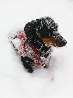 Wiener dog in the snow!