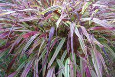 Klehm's Song Sparrow Farm and Nursery--Shade Perennials--Hakonechloa macra 'Naomi' PP19,897