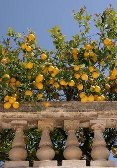 Sicilian lemon tree , Syracuse Sicily Italy