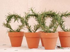 Rosemary topiaries are the perfect gift for friends and family who have a green thumb. Click here for full instructions.