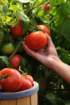 Fresh tomatoes...can hardly wait.