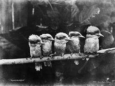 Kookaburras (Powerhouse Museum Collection)