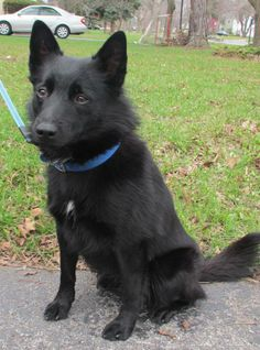 ADOPTED! Jack Petfinder Adoptable | Dog | Schipperke | Rochester, NY | Jack