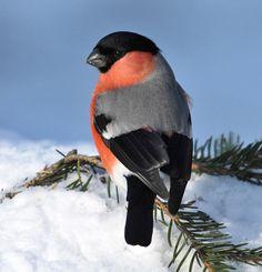 Bullfinch in the snow