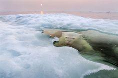 A polar bear lurking beneath melting sea ice in Hudson Bay, Canada.