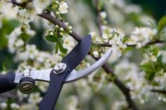 Mistakes to Avoid When Pruning Cherry Trees
