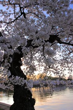 100 yr old Cherry tree blooming along the Potomac tidal basin about 500 yards from the Jefferson Memorial.