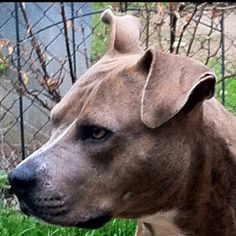 sweet bluebell #rescue #pit bull #dog