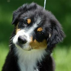 Black & White Australian Shepherd Puppy. Looks a lot like Butch!! :)