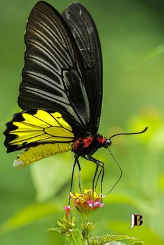 Common Birdwing (Troides helena) butterfly
