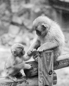 """Japanese snow monkey at """"Jigokudani hot-spring"""" in Nagano, Japan"""