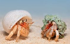 Two land hermit crabs from Biak Island, Papua, Indonesia.  Picture: Igor Siwanowicz / Barcroft Media