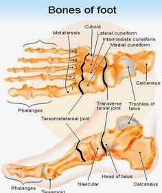 Foot Anatomy Bones |