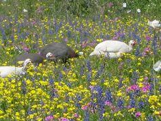 Wild guineas. Pleasanton, Tx
