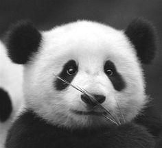 anim kingdom, oso panda, anim xoxo, panda bear, animaux, amaz anim, pandas, creatur big, babi panda