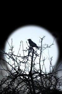 bird, raven, eat crow, the crow