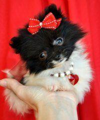 Pomeranian Puppies - I'm in love!
