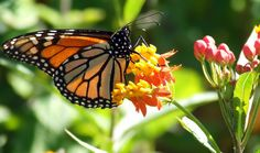Butterfly Lady :: FREE Scarlet Milkweed Seeds for Butterfly Gardening