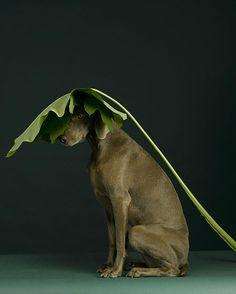 dog portraits by William Wegman