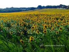 Sunflowers field - Marche, Italy