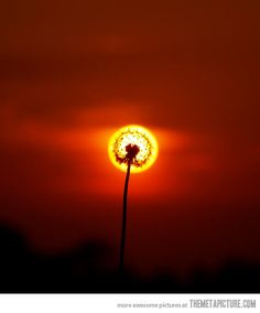 ♥ Aligned Dandelion… dandelion, sunset, natur, cool photo