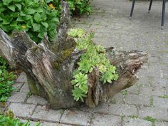 Succulents planted in an old tree stump - saw several versions of this at my local garden club flower show. Loved them!