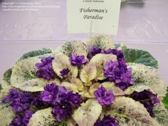 African Violet 'Fisherman's Paradise' (Saintpaulia)