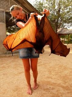 GIANT FLYING BAT!! The large flying fox is among the largest species of bats. The large flying fox ranges from Malay Peninsula, stretching to the Philippines in the east and Sumatra, Java, Borneo and Timor in the south.