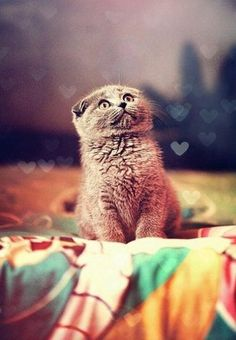 i really want a Scottish Fold kitten in the future!   look how adorable their ears make them look!