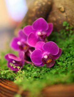 Purple Miniature Orchid miniatur orchid, miniatur plant