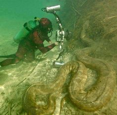 Giant anaconda in the Amazon River