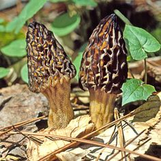 Black Morel (Morchella Augusticeps) -Morels are one of the few mushroom species that fruit in the springtime instead of the fall. The Blond Morels tend to fruit earlier in the season and in warmer climates than the Black Morels, which are often hidden up in the mountains.