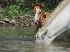 Salt River wild horses. This photo shows how the horses put their heads in the water to pluck the grass from the bottom of the river.