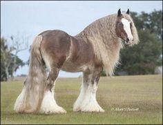 Bullet. Silver bay Gypsy Vanner stallion