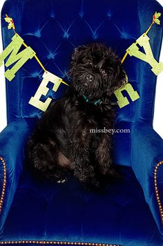 Labordoodle Puppy » Christmas Pet Photography
