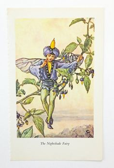Nightshade Fairy Flower by Cicely Mary Barker from Peony and Thistle Paper £4.50