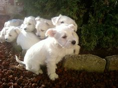 White Miniature Schnauzers!!!! Omg! I want them all!!!!!!! Adorable!