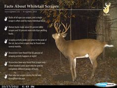 Facts About Whitetail Scrapes