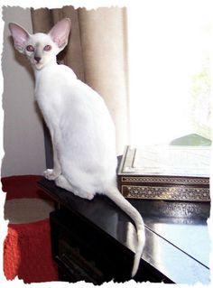 """Thaifongs Raisa of Ayuthaya, DM  CFA""""s Best Siamese kitten 2007-8"""