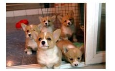 Stampede of the Welsh Corgi puppies!
