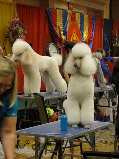 Standard Poodle Cuts  Poodles from Atlanta Pet Fair 2012