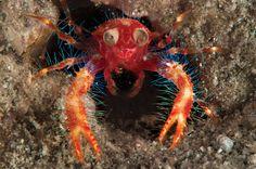 Google-Eyed Fairy Crab (Squat Lobster)