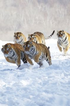 Tigers running in the snow.