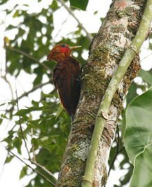 Chestnut-colored Woodpecker , Costa Rica