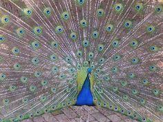 The Splendid Peacock