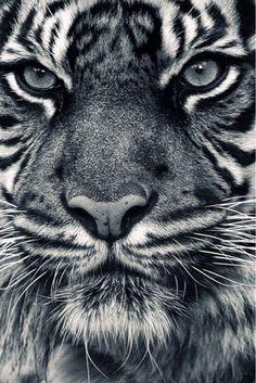 tiger close up - beautiful