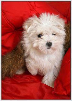 Puppy #maltipoo #dogs #cute