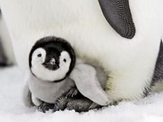 Just love penquins