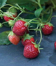 The biggest mistake beginners make when trying to grow strawberries and how to correct it with an easy snip! #garden