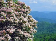 Mountain Laurel blooming on the Blue Ridge Parkway in the North Carolina mountains